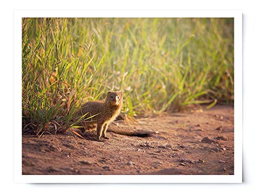 Mongoose - Wildlife Photograph Animal Picture Home Decor Wall Nature Print - Variety of Size Available by Whimsical Wild Artwork