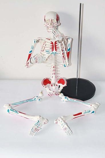 85CM Medizinisches menschliches Knochenmodell Menschliches Skeleton ...