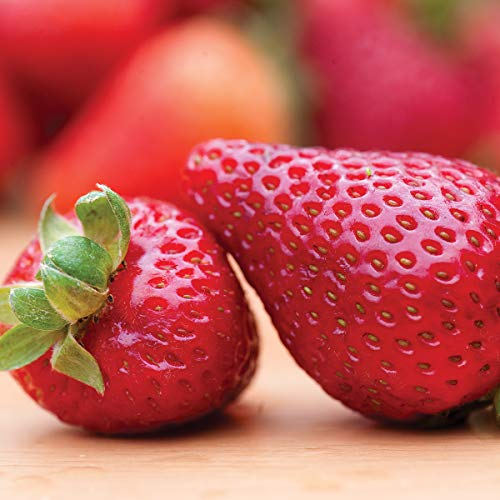 Burpee 'Seascape' Ever-Bearing Strawberry shipped as 25 BARE ROOT PLANTS by Burpee (Image #5)