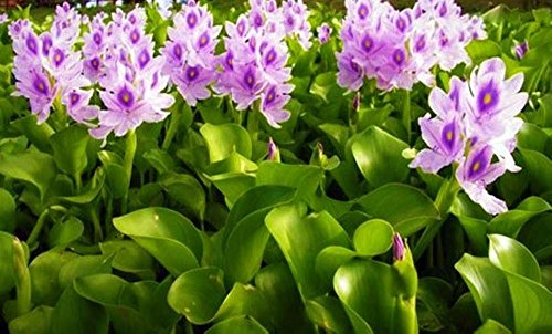 Water Hyacinths Floating Water Garden Plants (12 live ()