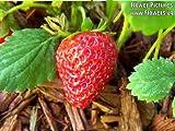 100 ALPINE STRAWBERRY Fragaria Vesca Fruit White Flower Seeds + Gift & Comb S/H