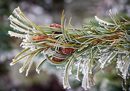 - Hoar Frost on Pine - UW Arboretum, Madison, Wisconsin Photograph