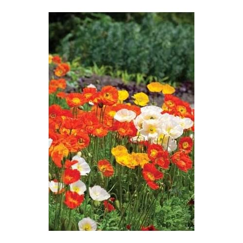 The dirty gardener organic papaver nudicaule iceland poppy flowers the dirty gardener organic papaver nudicaule iceland poppy flowers 25 seeds on sale mightylinksfo