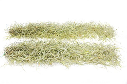Tillandsia Usneoides Air Plant/Spanish Moss / 2-3 Feet Long (2)