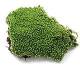 Bodhi2000artificielle miniature Vert mousse Herbe Plante Ornement Décoration DIY