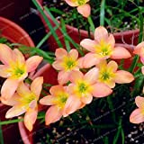100 Seeds Zephyranthes Candida Seed onion Orchid Seeds Mini Easy Planting Fun Indoor 9#32779338957ST
