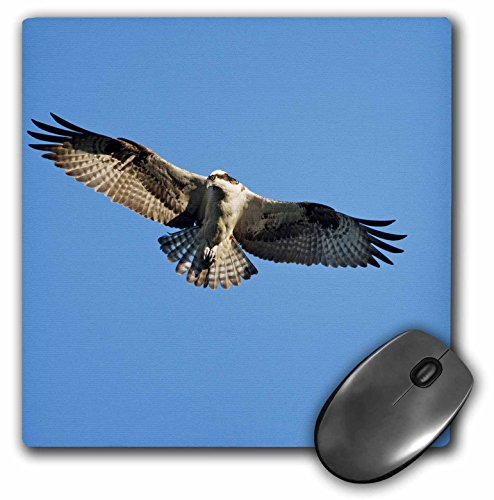 Danita Delimont - Birds - Maine, Acadia NP, Peregrine Falcon bird, Bar Harbor - US20 PSO0003 - Paul Souders - MousePad (mp_90755_1)