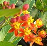 Silky Scarlet Milkweed Live Plant