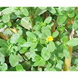 Portulaca Oleracea (Common Purslane / Verdolaga) 2000 Seeds