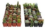 64 Cactus and Succulents Assorted Package- Each Plant is Unique, No Two Look Alike, Add Character to Your Garden by Including A Variety of Succulents & Cacti - by Jiimz