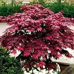 Japanese Red Maple Tree (1 foot tall in trade gallon containers)