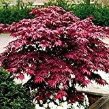 Japanese Red Maple Tree (1-2 feet tall in trade gallon containers)