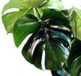 "Split Leaf Philodendron 4"" Pot - Monstera - Edible Fruit Tastes Like Pineapple"