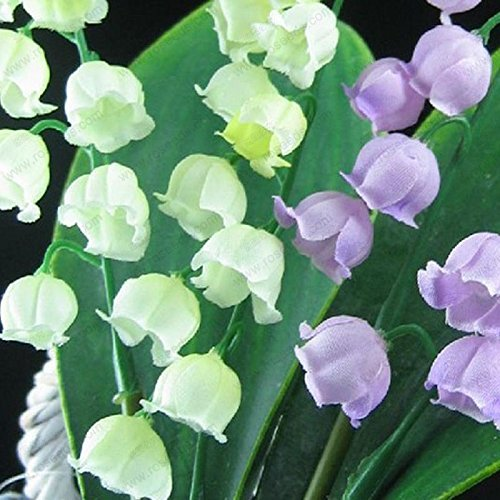free ship Lily of the Valley flower seeds, bell orchid seeds, rich aroma, bonsai flower seed, multi-colored orchids-40 seeds (Ship Orchids Free)