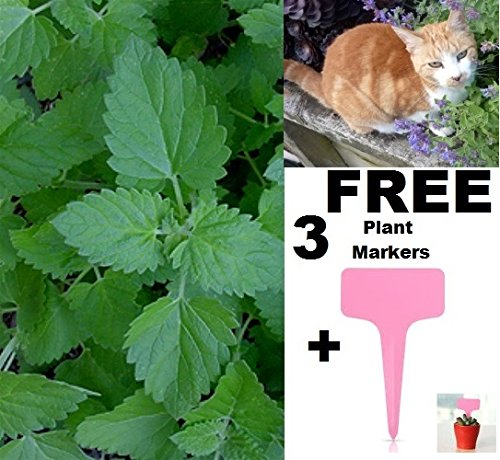 [Organic Catnip Seeds Herb 300+ Seeds Upc 643451294897 + 2 Free Plant Markers] (Animal That Starts With J)