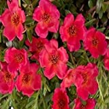 Rock Purslane Ruby Tuesday Flower Seeds (Calandrinia Umbelleta) (200)