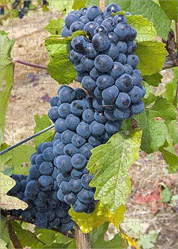Media Storehouse 252 Piece Puzzle of USA, Oregon, Gaston. Pinot Noir Grapes on The Vine (19029483)