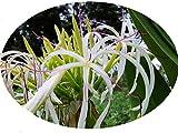 Live Plant Grand Crinum Asiaticum Spider Lily