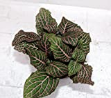 Red Veined Nerve Plant - Fittonia - Easy House