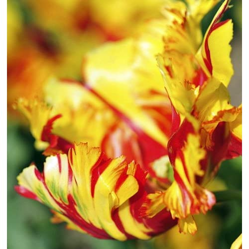 Hot 'Flaming Parrot' Tulip 8 Bulbs - EXOTIC - 12/+ cm Bulbs for sale