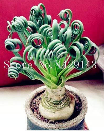 Fotcus 500 Pcs Spring Grass Plant Succulents Plant Grass DIY Bonsai Potted Garden Home Exotic Plant Spiral Grass Ornamental Bonsai - (Color: mix-300)