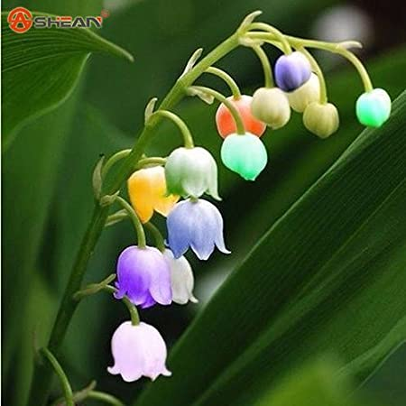 Amazon Com Convallaria Majalis Colorful Lily Of The Valley Orchid Seeds 100 Seeds Item No 2 Garden Outdoor