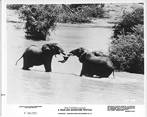 Disney True Life Adventure Festival original 1964 8x10 photo elephants in water