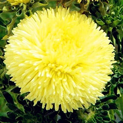 50pcs / Semillas Semillas Bolsa Aster Aster flores Semillas de flores Semillas crisantemo del arco iris flores perennes para jardín: 1: Amazon.es: Jardín
