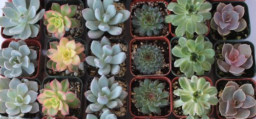 Jiimz 80 Lovely Succulents for Wedding Party Favors by jiimz (Image #1)