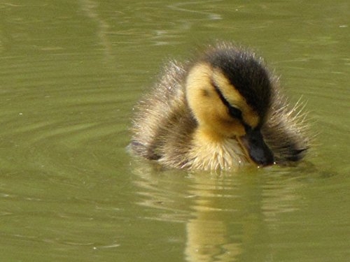 Home Comforts LAMINATED POSTER Duckling 4 Animals Poster Pri