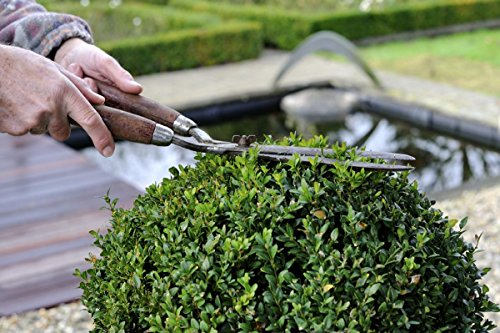 Winter Gem Boxwood - 60 Live Plants - 2'' Pot Size - Buxus Microphylla Japonica - Fast Growing Cold Hardy Formal Evergreen Shrub by Florida Foliage (Image #3)
