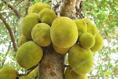 10 graines // lot Seed Tropical Novelty Worlds Largest graines de fruits tropicaux New 10 graines fra/îches jacquier Artocarpus altilis