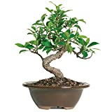 Brussel's Golden Gate Ficus Bonsai