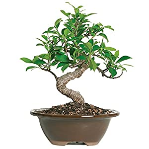 ficus microcarpa ginseng care instructions