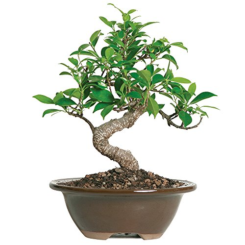 "Brussel's Live Golden Gate Ficus Indoor Bonsai Tree - 4 Years Old; 5"" to 8"" Tall with Decorative Container"