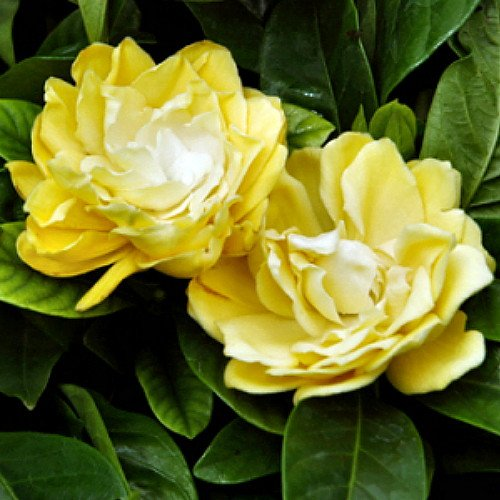 Rare 39 Golden Magic 39 Gardenia Changes Color From Ivory To