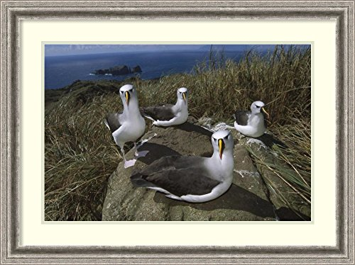 framed-art-print-yellow-nosed-albatross-group-tristan-da-cunha-south-atlantic-by-tui-de-roy