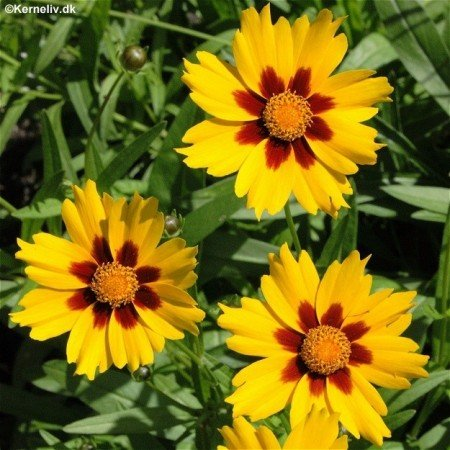 Amazon Coreopsis Sterntaler Golden Yellow Petals With Red