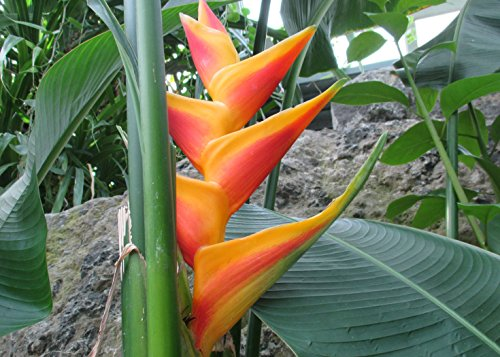 Heliconia is an erect herb typically growing taller than  6 feet.