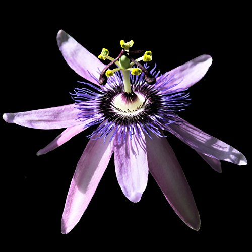 Purple Passion Flower Passiflora Betty Myles Young - One Vine in 4