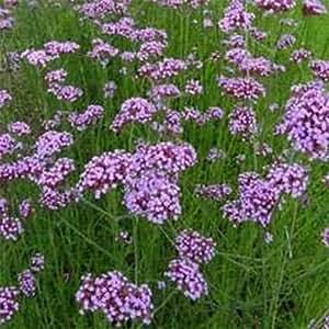 Verbena- Purpletop Vervain- 100 Seeds- 50 % off sale