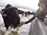 Wild Bison Eat From Her Hand