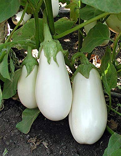 White Star Eggplant Seeds(Hybrid) - Ideal for Italian and Asian dishes! Looker !(10 - Seeds) ()