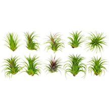 10 Giant Ionantha Tillandsia Air Plant Pack - Each 3 to 4 Inches Long - Live Tropical House Plants for Home Decor - Indoor Terrarium Air Plants