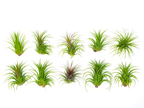 10 Large Ionantha Tillandsia Air Plant Pack - Each 2 to 3.5 Inches Long - Live Tropical House Plants for Home Decor - Indoor Terrarium Air Plants