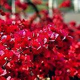20Pcs Red Bougainvillea Flower Seeds Ornamental Plant Garden Yard Decoration