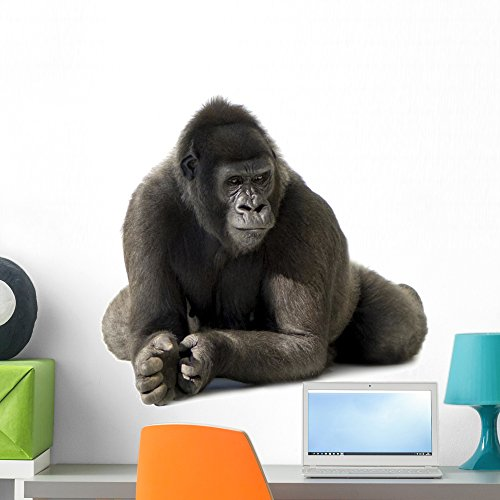 Wallmonkeys Young Silverback Gorilla Wall Decal Peel and Stick Animal Graphics (24 in H x 24 in W) WM436116 by Wallmonkeys