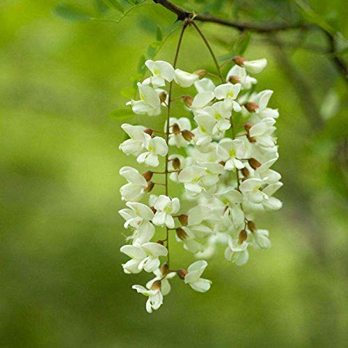 100 Common Honey Locust Tree Seeds, Gleditsia Triacanthos Inermis