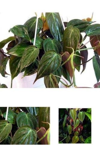 Plant Rare Velvet Leaf Bronze Micans Vine Indoor Easy to Grow 4'' Pot Best Gift