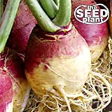 American Purple Top Rutabaga Turnip Seeds - 1000 Seeds NON-GMO